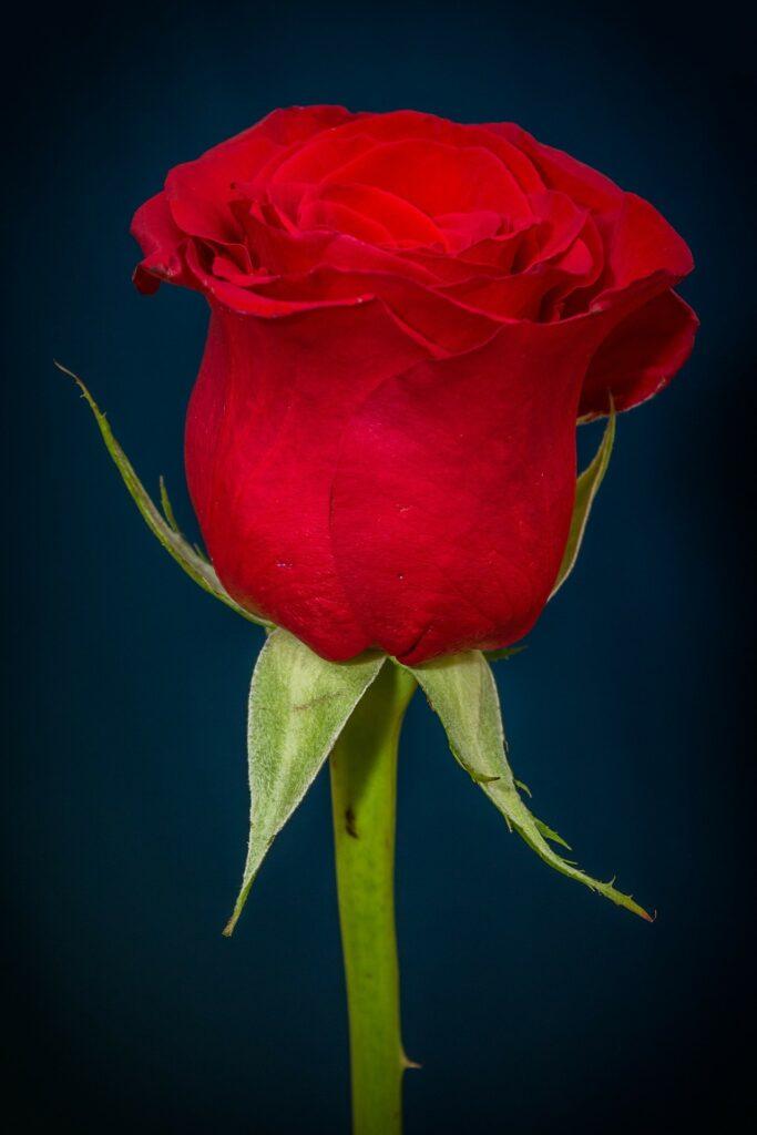 a splendid ROSE